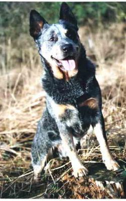 Bouvier d'Australie - Tout les chiens de race